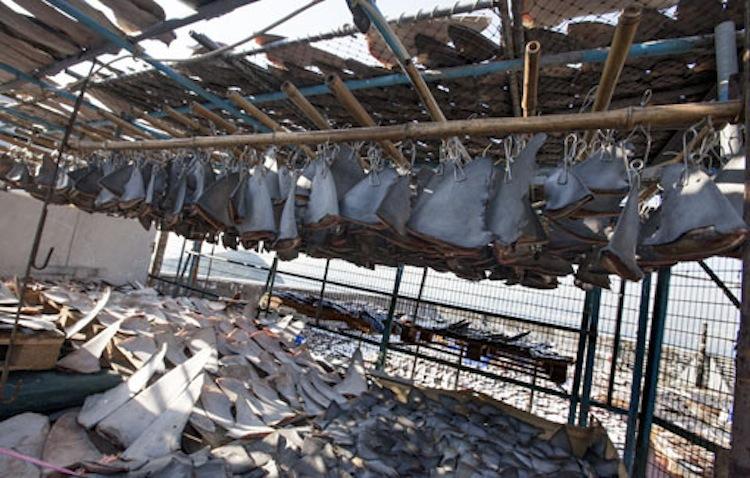 Spotlight: shark finning