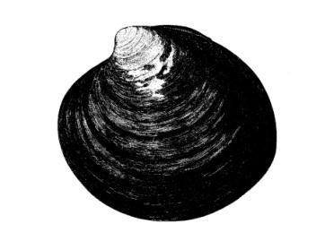 La especie dibujada por Goode en 884